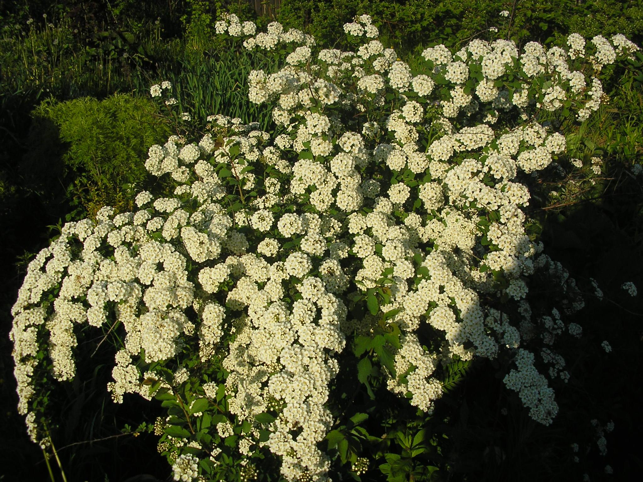 Спирея цветок и фото